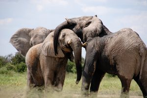 memory, elephants